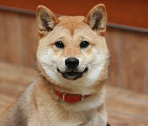 柴犬 ニコちゃん